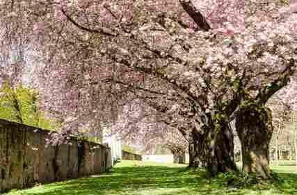 Spring Dream : Japanese cherry blossoms :)